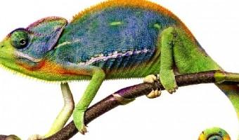chameleon's