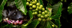 luwak-coffee