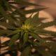 green-cannabis-plant