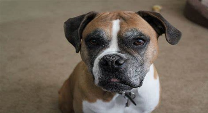 What To Know About The Boxer Dog