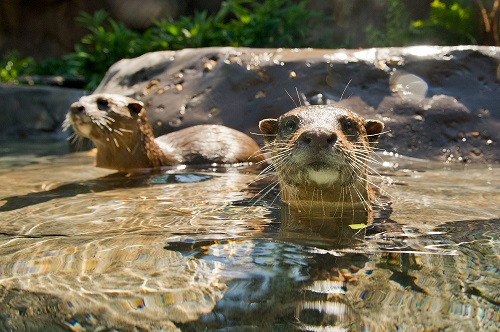 Freshwater Oasis Otters