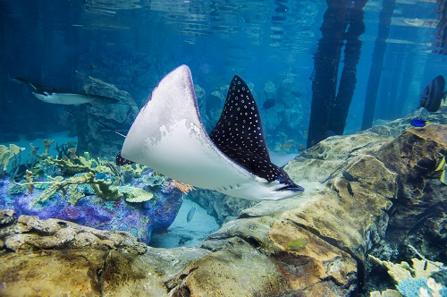 Spotted Eagle Rays - The Grand Reef